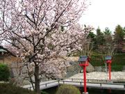Otaru Cherry Flowers