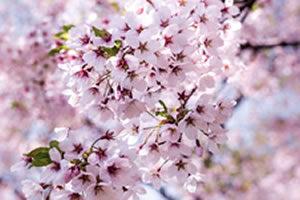 Cherry Blossoms in Oodori Park
