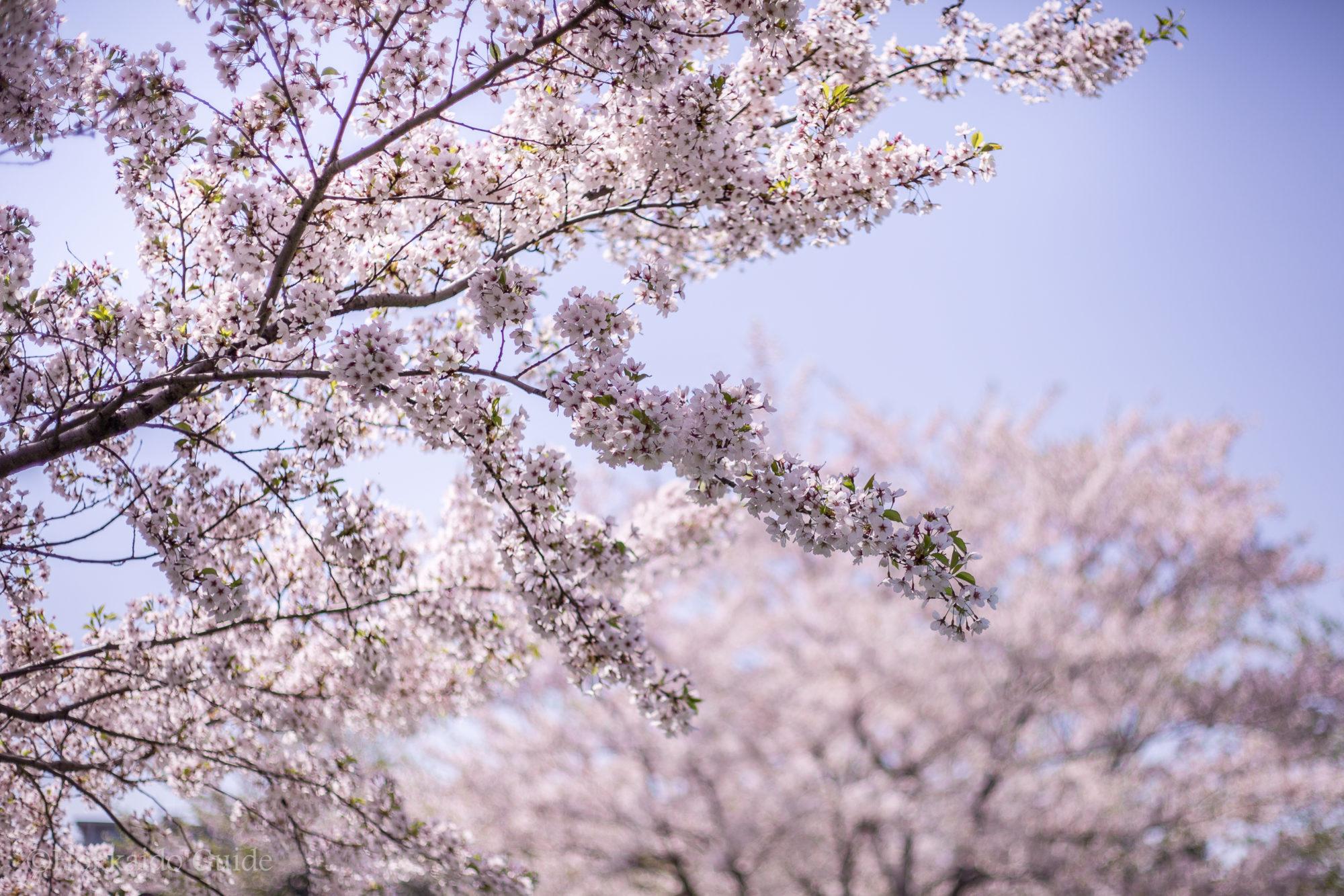 Cherry Blossom Viewing Hokkaido Guide