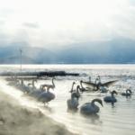 Lake Kussharo Swans