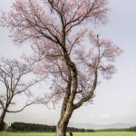 Shizunai Cherry Blossom Festival