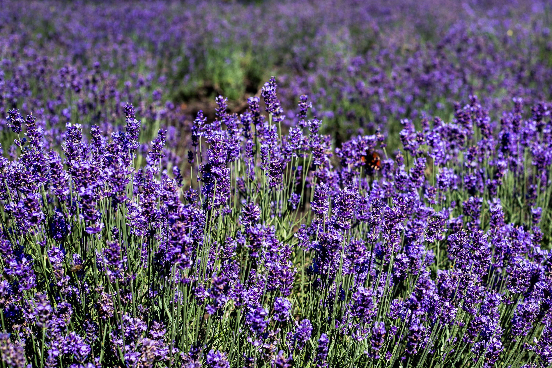 Lavender at Hitsujigaoka Observation Hill