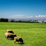 Sheep at Hitsujigaoka Observation Hill