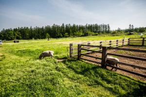 Sheep enclosure